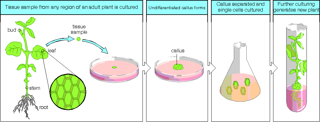 Plant Tissue Culture: A Biotechnological Methods to