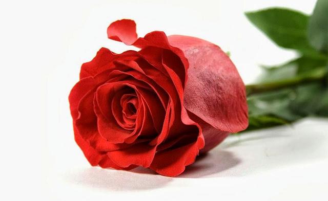 Apa Saja Manfaat Bunga Mawar Untuk Kesehatan