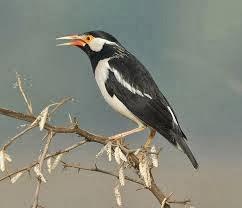 Foto Burung Jalak Nias Update Harga Terbaru