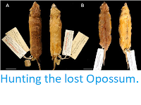 http://sciencythoughts.blogspot.co.uk/2013/09/hunting-lost-opossum.html