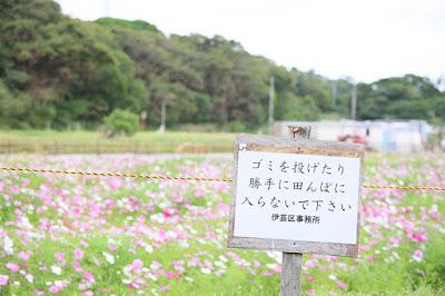 沖縄 コスモス畑