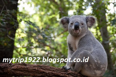 Koala - The Koala Conservation Centre (Australia)