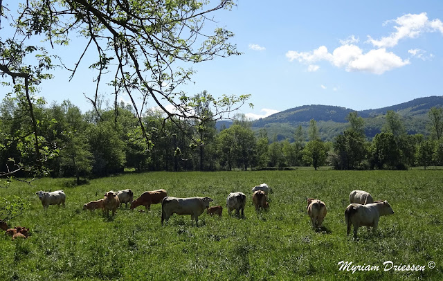 Happy cows under the sun close to the Black Mountain, south of France