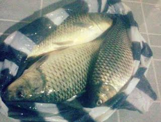 Umpan Ikan Mas Paling Jitu Tanpa Kroto