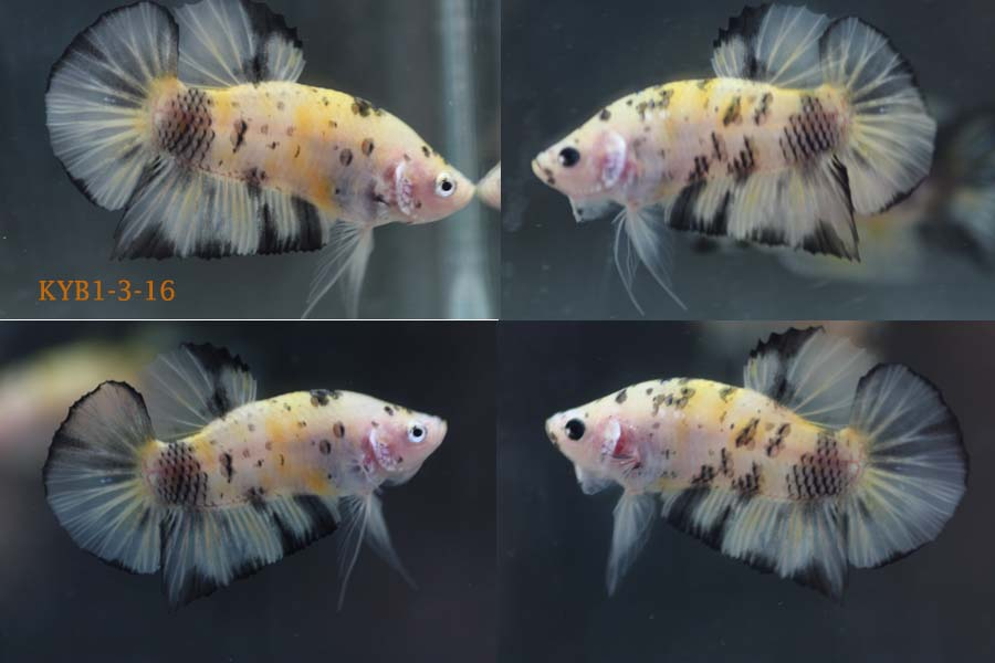 Bettazone betta of the week koi yellow black for Yellow koi fish for sale
