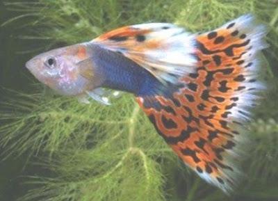 Tuxedo Mozaic