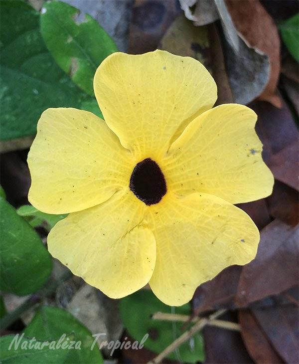 Variedad amarilla de la flor Ojo de Poeta, Thumbergia alata