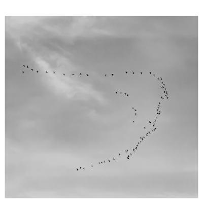 Bird flight, V formation | Chris Zintzen | panAm productions 2019