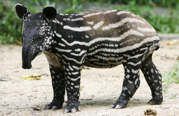 tapirs animals facts and images all wildlife photographs. Black Bedroom Furniture Sets. Home Design Ideas