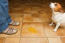 Como ensinar o cão a fazer as necessidades no lugar certo