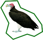 Lappet-Faced Vulture — original photo © Del Hoyo et al. 2000