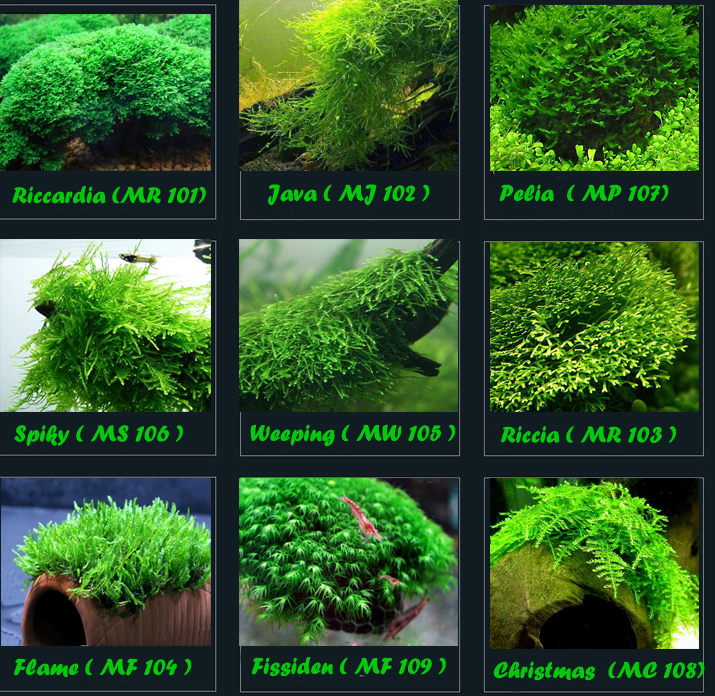 Jual Tanaman Moss Aquascape Alam Ikan