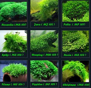 Riccardia moss, christmas moss, flame moss, weeping moss, spiky moss, riccia moss, pelia moss, java moss