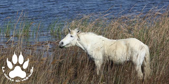 cheval-camarguais-salin-de-badon