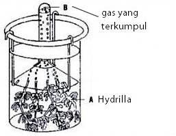 Tugas Tugas Q Laporan Praktikum Biologi Ingenhoust Pada Hydrilla