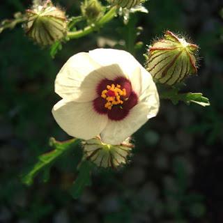 Gambar Bunga Alamanda yang Indah 16