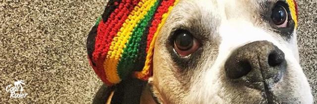 Científicos recomiendan el reggae para calmar el temor de los perros a los fuegos artificiales