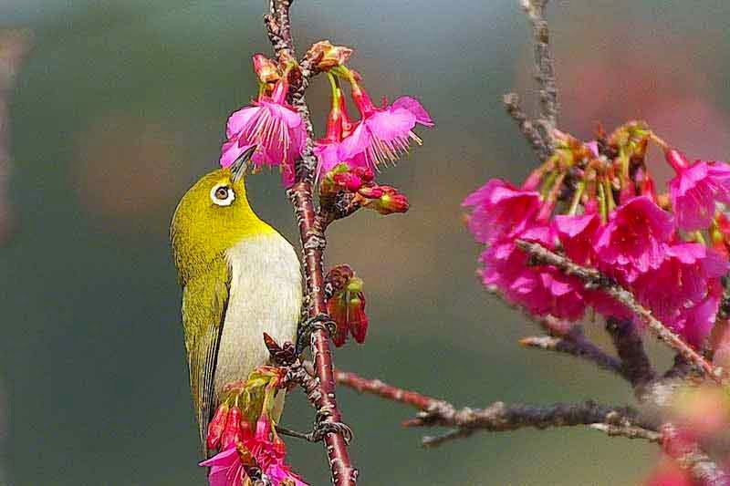 bird, cherry blossoms, Japanese White Eye