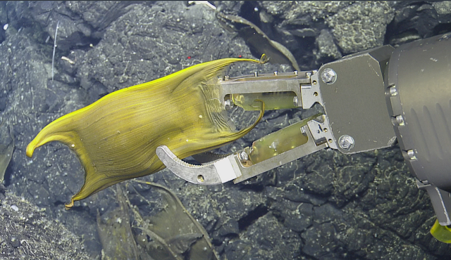 Deep-Sea Volcanic Vents Incubate Eggs for those Underwater moms