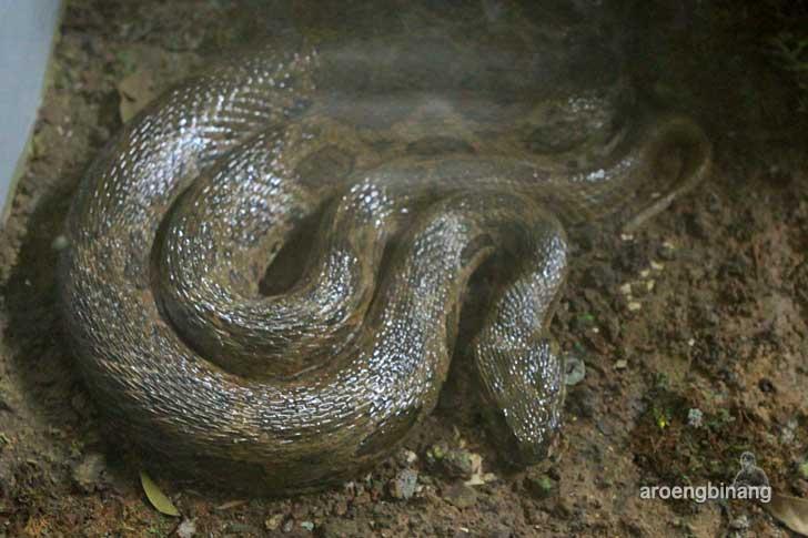 ular bandotan puspa museum zoologi bogor