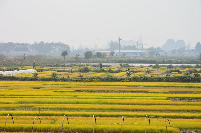 Champs dans la baie d'halong terrestre