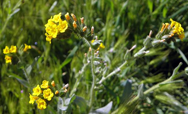 Closeup of common fiddleneck, a golden flower