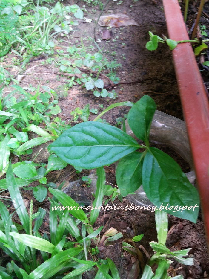 """SUKA SUKA "": Anak pokok pisang kaki - update"