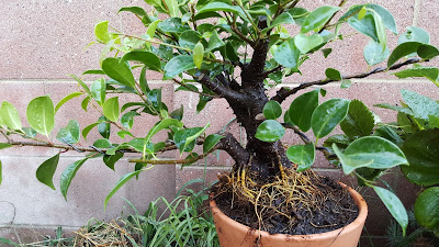 Chinese banyan aerial roots