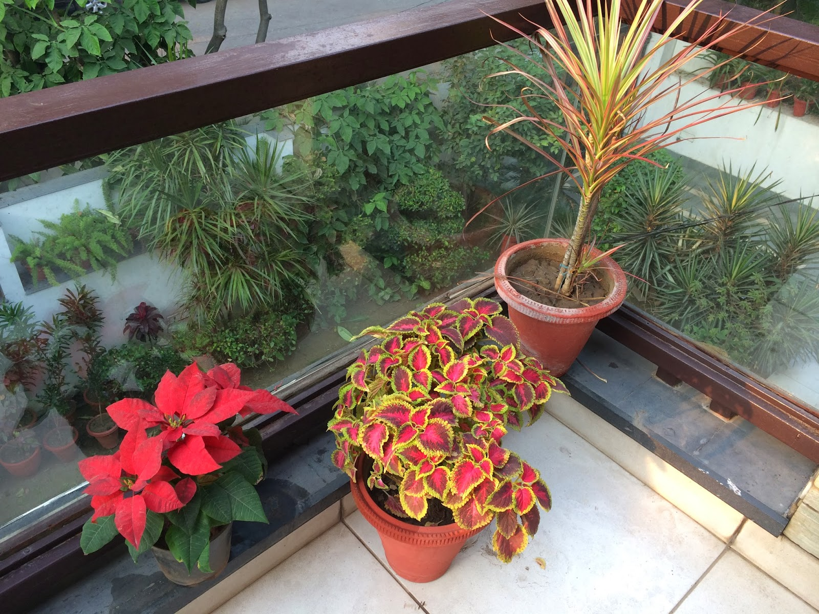 Dhara...The Earth...An Indian gardening blog: My balcony garden with Poinsettias, Mums and Coleus
