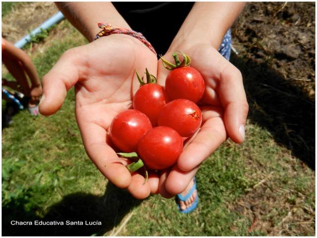 Parte de la cosecha de tomates cherri - Chacra Educativa Santa Lucía