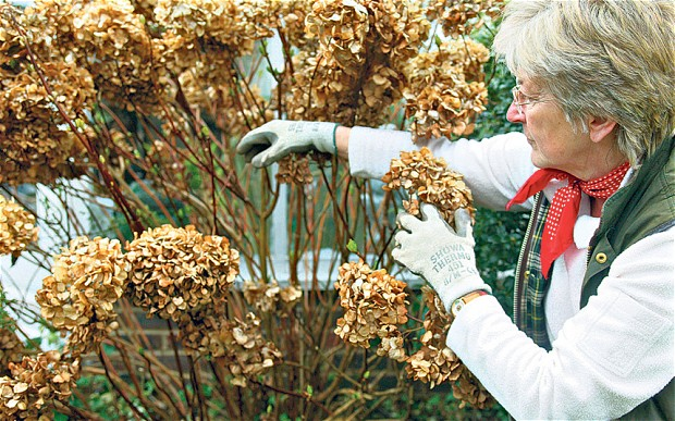 removing the dead blooms on mophead hydrangeas can in mild areas be undertaken just after flowering but it is best to leave them on the plant over winter - When To Trim Hydrangea