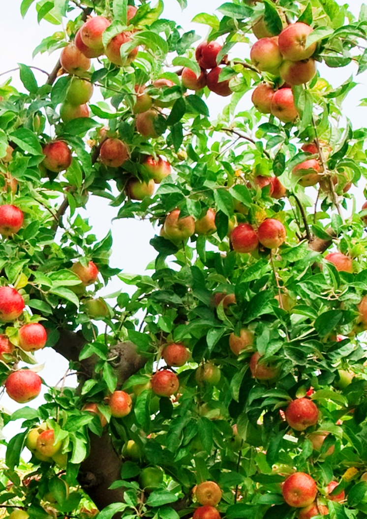 There are many varieties of fruit trees and berry bushes for different demands.