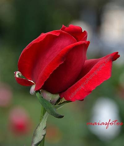 Red velvet rose bud-closeup photo