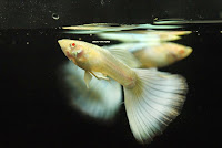 Jual Guppy,  Harga Guppy,  Toko Guppy,  Diskon Guppy,  Beli Guppy,  Review Guppy,  Promo Guppy,  Spesifikasi Guppy,  Guppy Murah,  Guppy Asli,  Guppy Original,  Guppy Jakarta,  Jenis Guppy,  Budidaya Guppy,  Peternak Guppy,  Cara Merawat Guppy,  Tips Merawat Guppy,  Bagaimana cara merawat Guppy,  Bagaimana mengobati Guppy,  Ciri-Ciri Hamil Guppy,  Kandang Guppy,  Ternak Guppy,  Makanan Guppy,  guppy breeding Guppy,  guppies for sale Guppy,  guppy care Guppy,  breeding guppiesGuppy,  male guppiesGuppy,  female guppiesGuppy,  guppy aquariumGuppy,  baby guppiesGuppy,  poecilia reticulataGuppy,  guppy tankGuppy,  guppy fryGuppy,  guppy giving birthGuppy,  how long do guppies liveGuppy,  guppysGuppy,  guppy guppyGuppy,  guppy foodGuppy,  guppy breeding tankGuppy,  fantail guppyGuppy,  guppy breedsGuppy,  guppy sGuppy,  wild guppiesGuppy,  guppy babiesGuppy,  guppy varietiesGuppy,  freshwater guppies Guppy,  guppy female Guppy,  tropical guppies Guppy,  female guppies for saleGuppy,  guppy priceGuppy,  raising guppiesGuppy,  guppies for sale onlineGuppy,  guppy infoGuppy,  buy guppies onlineGuppy,  guppy saleGuppy,  buy guppiesGuppy,  guppy diseasesGuppy,  guppies onlineGuppy,  caring for guppiesGuppy,  best food for guppiesGuppy,  food for guppiesGuppy,  blue guppyGuppy,  guppy breeding setupGuppy,  guppy birthGuppy,  guppy speciesGuppy,  gestation period for guppiesGuppy,  guppys onlineGuppy,  guppy care sheetGuppy,  guppy blue  Jakarta,  keeping guppies  Bandung,  guppies for sale cheap  Medan,  the guppy  Bali,  guppy breeding cycle  Makassar,  show guppies  Jambi,  thai guppy  Pekanbaru,  male and female guppies  Palembang,  what to feed baby guppies  Sumatera,  yellow guppy  Langsa,  guppy names  Lhokseumawe,  guppy gestation period  Meulaboh,  feeding guppies  Sabang,  guppy genetics  Subulussalam,  guppy show  Denpasar,  turquoise guppy  Pangkalpinang,  guppy fry care  Cilegon,  guppy games  Serang,  guppy gestation  Tangerang Selatan,  guppy colors  Tangerang,  guppy tank setup  Bengkulu,  trinidadian guppies  Gorontalo,  guppies having babies  Kota Administrasi Jakarta Barat,  guppy strains  Kota Administrasi Jakarta Pusat,  what do guppies eat  Kota Administrasi Jakarta Selatan,  what to feed guppies  Kota Administrasi Jakarta Timur,  guppy life span  Kota Administrasi Jakarta Utara,  how to care for guppies  Sungai Penuh,  guppy male and female  Jambi,  what is a guppy  Bandung,  guppy natural habitat  Bekasi,  german guppy  Bogor,  guppy poecilia reticulata  Cimahi,  guppy images  Cirebon,  images of guppies  Depok,  fishguppy  Sukabumi,  guppy facts  Tasikmalaya,  how many babies do guppies have  Banjar,  how big do guppies get  Magelang,  how to take care of guppies  Pekalongan,  fan tailed guppies  Purwokerto,  guppy pregnant  Salatiga,  guppy life cycle  Semarang,  temperature for guppies  Surakarta,  what are guppies  Tegal,  guppies restaurant  Batu,  guppy definition  Blitar,  guppy meaning  Kediri,  guppy size  Madiun,  define guppy  Malang,  guppy wiki  Mojokerto,  how do guppies give birth  Pasuruan,  baby guppys  Probolinggo,  guppies bar  Surabaya,  how many fry do guppies have  Pontianak,  guppy behavior  Singkawang,  how many babies does a guppy have  Banjarbaru,  where do guppies come from  Banjarmasin,  how do guppies reproduce  Palangkaraya,  what does guppy mean  Balikpapan,  what is guppy  Bontang,  types of guppy  Samarinda,  guppy guppies  Tarakan,  guppy house hours  Batam,  guppys on the go  Tanjungpinang,  guppys restaurant  Bandar Lampung,  guppies definition  Kotabumi,  do guppies eat their babies  Liwa,  gestation guppy  Metro,  bubble guppies  Ternate,  guppy  Tidore Kepulauan,  Guppy  Ambon,  Guppy  Tual,  Guppy  Bima,  Guppy  Mataram,  Guppy  Kupang,  Guppy  Sorong,  Guppy  Jayapura,  Guppy  Dumai,  Guppy  Pekanbaru,  Guppy  Makassar,  Guppy  Palopo,  Guppy  Parepare,  Guppy  Palu,  Guppy  Bau-Bau,  Guppy  Kendari,  Guppy  Bitung,  Guppy  Kotamobagu,  Guppy  Manado,  Guppy  Tomohon,  Guppy  Bukittinggi,  Guppy  Padang,  Guppy  Padangpanjang,  Guppy  Pariaman,  Guppy  Payakumbuh,  Guppy  Sawahlunto,  Guppy  Solok,  Guppy  Lubuklinggau,  Guppy  Pagaralam,  Guppy  Palembang,  Guppy  Prabumulih,  Guppy  Binjai,  Guppy  Medan,  Guppy  Padang Sidempuan,  Guppy  Pematangsiantar,  Guppy  Sibolga,  Guppy  Tanjungbalai,  Guppy  Tebingtinggi,  Guppy  Yogyakarta,