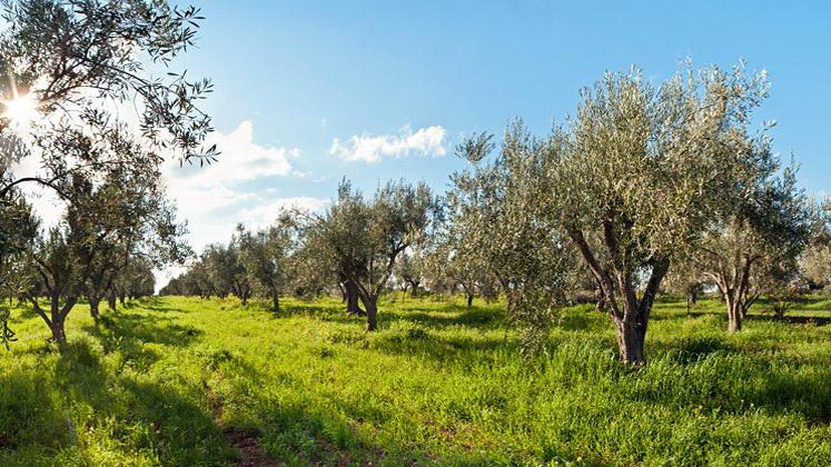 Έξαρση του δάκου στα ελαιοχώραφα της περιοχής Αλεξανδρούπολης