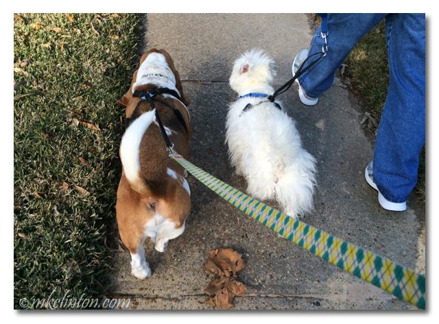 Bentley Basset & Pierre Westie take a walk.