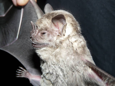Fringed Fruit eating Bat