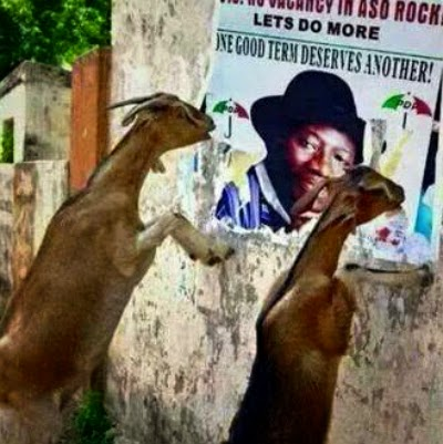 goats eating jonathan campaign posters