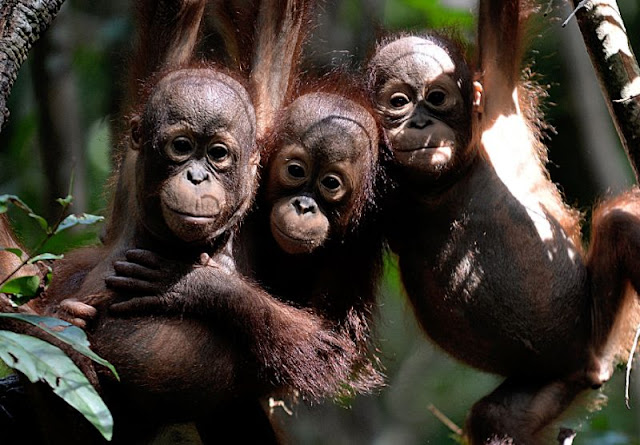 Borneo's orangutans in 'alarming' decline: study