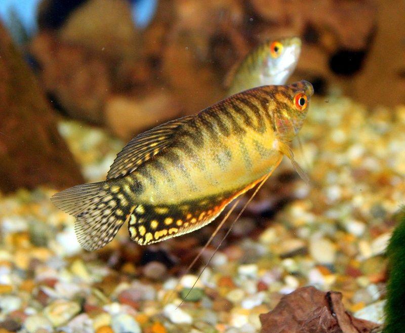 Foto Ikan Sepat Hias Kuning