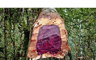 sonokeling kayu