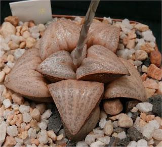 Haworthia splendens - GM 452