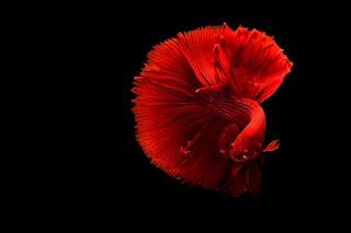 betta balığı