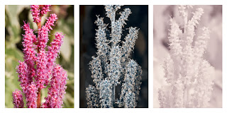 Astilbe cultivar flowers photographed in visible light (left), ultraviolet light (middle), and infrared light (right)