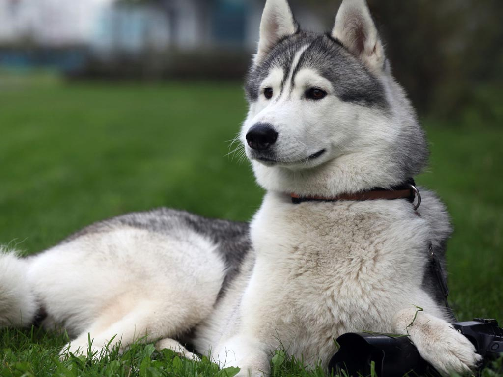 Images Of Husky Dogs: Alaskan Malamute Reviews And Pictures