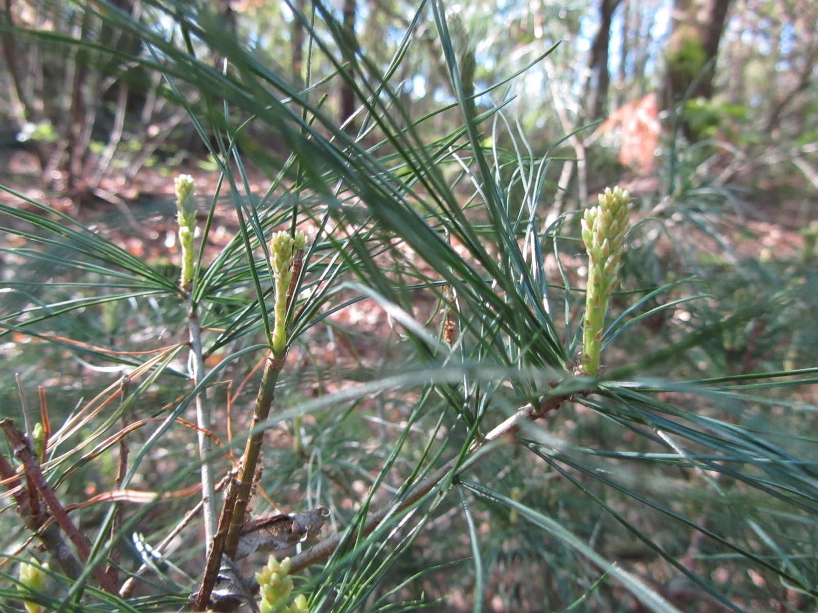pino di weymouth o strobo pinus strobus dove cresce e