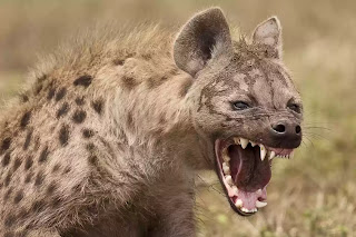Hyena crushes teenager's face in South while he slept