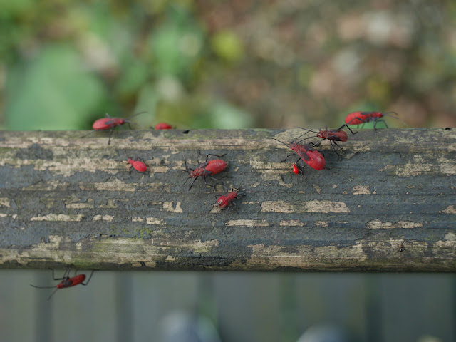 red bugs at Zhishan Park in Taipei