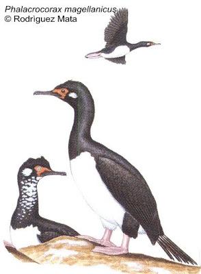 Cormorán cuello negro Phalacrocorax magellanicus