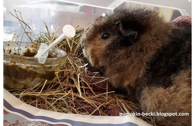 Syringe feeding Molly guinea pig GI Stasis